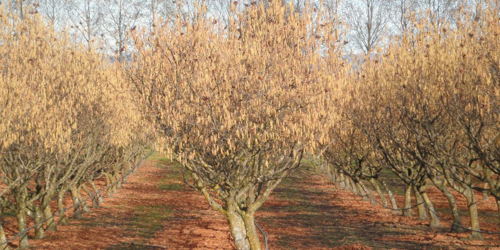 Orchard Tree Catkins